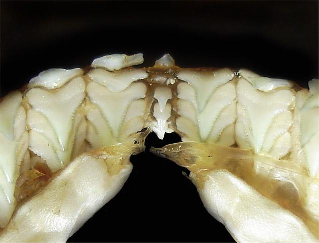 зубы акулы.